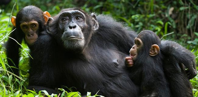 3 Days Chimpanzee Trekking Gombe
